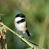 September 16, 2018:  Chickadee