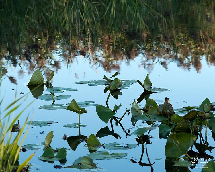September 11, 2018:  Water lilies.