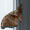 June 6, 2019:  Antheraea polyphemus, the Polyphemus moth.  (It is HUGE!)
