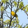 May 18, 2019:  Yellow warbler