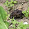 May 19, 2019:  Grumpy toad
