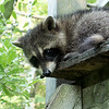July 10, 2019:  I managed to sneak up on one of the raccoon families while they were on the playstation feeder.  They climbed down and headed into the hedgerow not long after they realized I was there. Except for this little one.  It stayed until it finally dawned on it that it really should go. But I intercepted it as it started down the ladder. Sweet thing gave me quite the photo op!