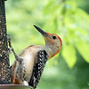 July 8, 2019:  Adult red-bellied woodpecker