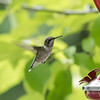 August 31, 2019:  One of the female hummingbirds.