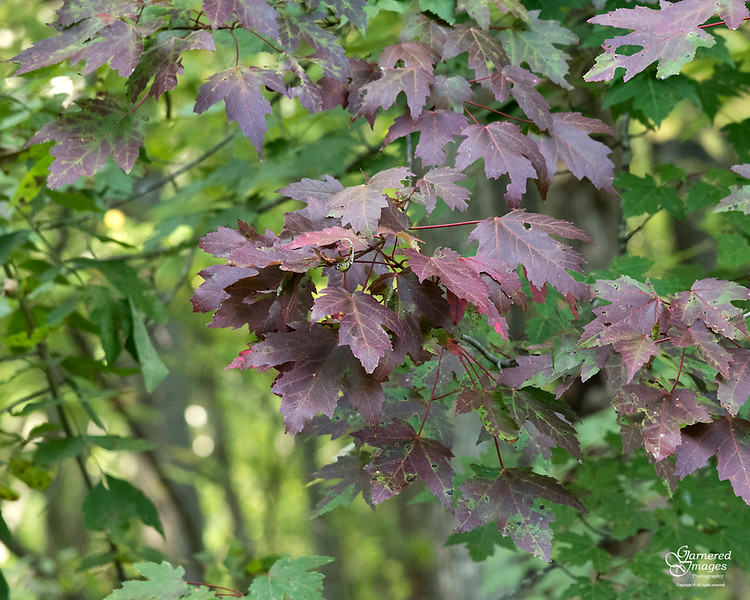 October 6, 2019:  A maple changing color.