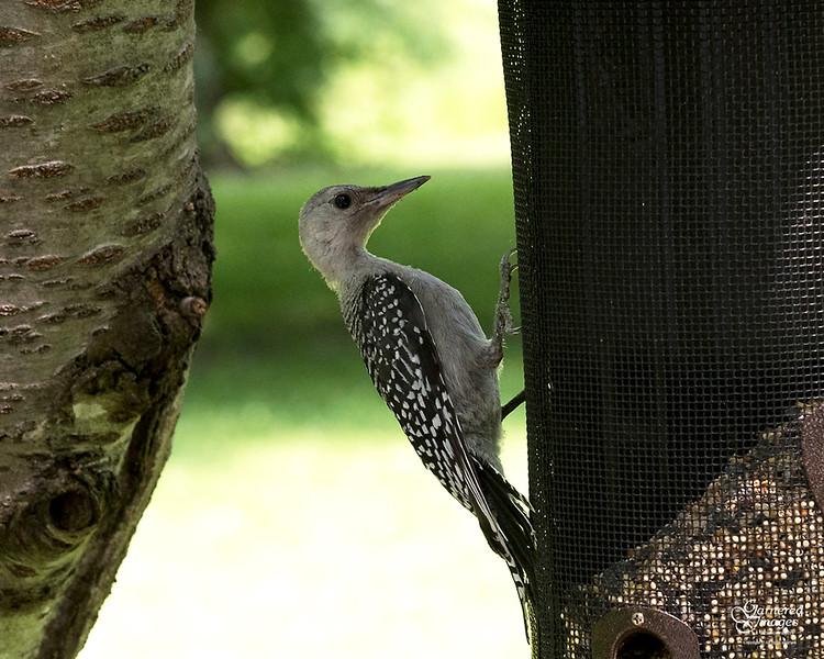 July 8, 2019:  Juvenile red-bellied woodpecker