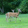August 2, 2019:  It's always a treat when the deer come close to the house. The draw is the ancient apple tree in the side yard.