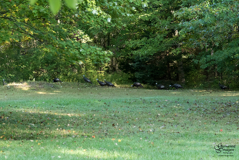 October 8, 2019:  That's a lot of male turkeys out for a morning stroll!