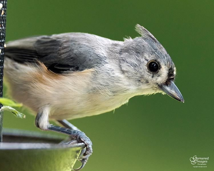 September 2, 2019:  One of the tufted titmouse (titmice?!)
