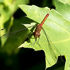 August 15, 2021:  Pretty red dragonfly.