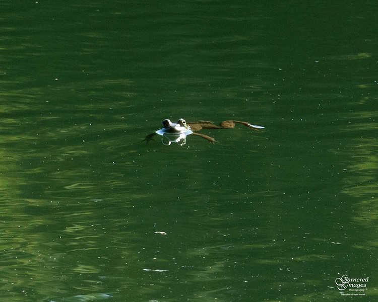 August 15, 2021:  Frog hanging around in the pond on a beautiful summer morning.