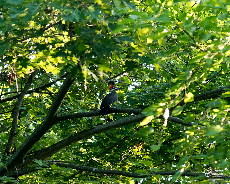 August 22, 2021:  The pilated woodpeckers were moving up from the woods as I was heading out there this morning.  Managed to catch one as it paused for a few seconds.