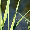 August 15, 2021:  Another tiny bluet damselfly.