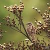 September 27, 2015:  Song sparrow on the gloomy prairie.