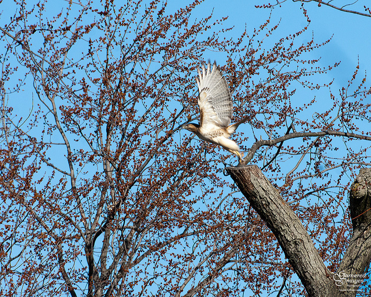February 27, 2012:  Not the best shot but a memorable sighting of one of the red tails on a prime perch.