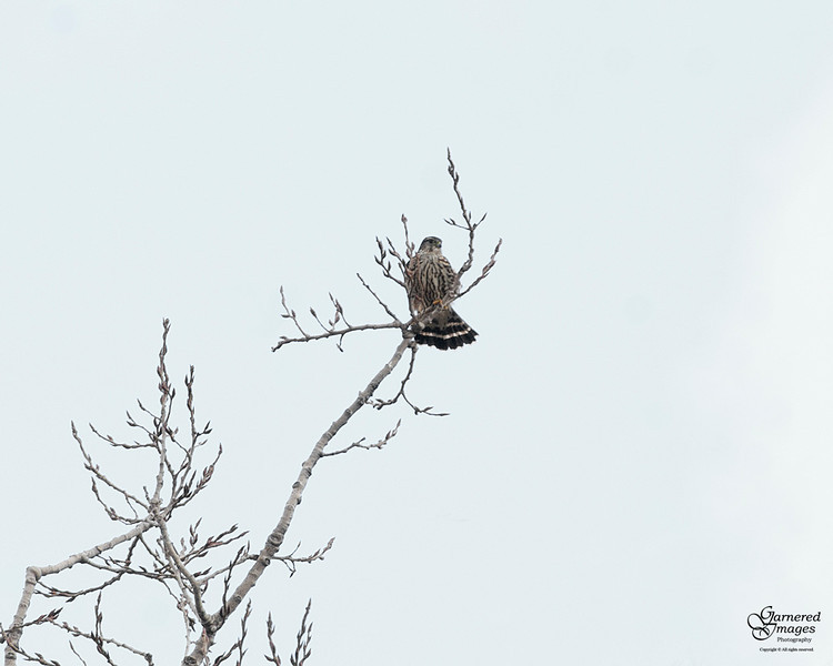 """January 27, 2012:  Almost missed this; thought it was one of the songbirds off in the distance until I finally looked through the big lens.  It's definitely not one of the Cooper's hawks so think it's a sharp-shinned (aka """"sharpie"""")."""