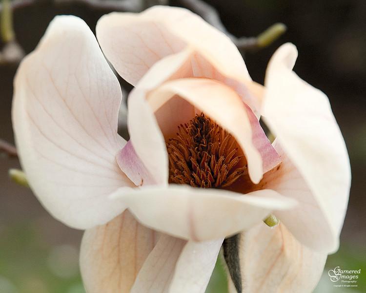 March 27, 2012:  Waning magnolia blossom.
