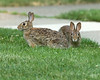 June 26, 2010:  Yes, Mr. and Mrs. Rabbit.  I see you.  And I know exactly what you're doing.  In broad daylight in front of God and everyone on the street, too, you shameless cottontails!