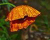 June 1, 2012:  A soggy, fading poppy striving for one final shining moment in the gloaming.