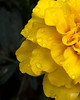 June 11, 2012:  A marigold abstract on a very gloomy day.