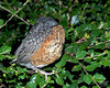 June 8, 2012:  This fledgling robin decided to go to bed for the night right outside my mom's front door.
