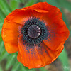 May 28, 2012:  In Flanders fields the poppies blow<br />  Between the crosses, row on row,<br />  That mark our place; and in the sky<br />  The larks, still bravely singing, fly<br />  Scarce heard amid the guns below.<br /> <br /> We are the Dead. Short days ago<br />  We lived, felt dawn, saw sunset glow,<br />  Loved and were loved, and now we lie<br />  In Flanders fields.<br /> <br /> Take up our quarrel with the foe:<br />  To you from failing hands we throw<br />  The torch; be yours to hold it high.<br />  If ye break faith with us who die<br />  We shall not sleep, though poppies grow<br />  In Flanders fields.<br /> <br /> (Major John McCrae, May 1915)<br /> <br /> Thank you to those who gave their all so that we may live in liberty.
