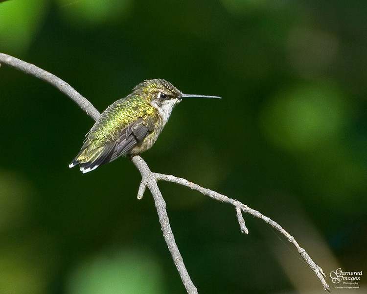 August 28, 2011:  Ruby-throated hummingbird in the nature preserve.