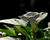 August 9, 2011:  The tiny moonflower seeds I so carefully plucked from their thorny pods last fall and saved in an envelope that hung on the side of the refrigerator all winter have now blossomed into a splendid mass of nighttime beauty.