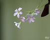 August 6, 2011:  Flowers of Oxalis triangularis, aka the purple shamrock.