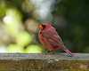 September 19, 2012:  It was a cardinal morning today.