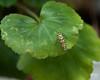 September 10, 2012:  Beetle on geranium.