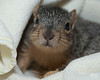 September 24, 2012:  Teddy, a baby fox squirrel from Wild Whispers.
