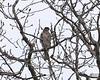 December 8, 2012:  This doesn't look quite like a Cooper's hawk....