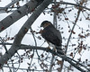 December 19, 2008:  The adult Cooper's hawk was loving today's high winds and heavily-falling snow.  I, on the other hand, froze my whatsits off chasing down all the varied photo ops.