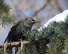 December 21, 2008:  The mobs of starlings have returned and many were gulping snow off the big pines since everything here is frozen solid.