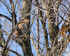 February 15, 2009:  The red-tailed hawk was hunting but it only gave the nearby fox squirrel the evil eye.