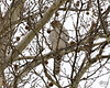 January 29, 2009:  A brief visit by the young Cooper's hawk; out hunting, it apparently didn't want the paparazzi drawing attention to it.  (The wanker.)