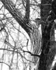 January 28, 2009:  Once rare, the zebra tree has made a remarkable comeback here in southeastern Michigan this winter.