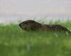 7/3/08:  Papa groundhog