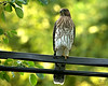 July 31, 2008:  Closing out the month with an early evening visit from this young Cooper's hawk.