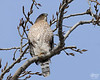 """November 17, 2008:  This Cooper's hawk sat way up in this tree for literally hours today.  But at least one brief moment of real sunshine broke through the day's gloom (and snow).  A hilarious additional capture is here:  <a href=""""http://sciurusniger.smugmug.com/gallery/5732274_hA4Gw#419497073_PdTWV"""">http://sciurusniger.smugmug.com/gallery/5732274_hA4Gw#419497073_PdTWV</a>"""