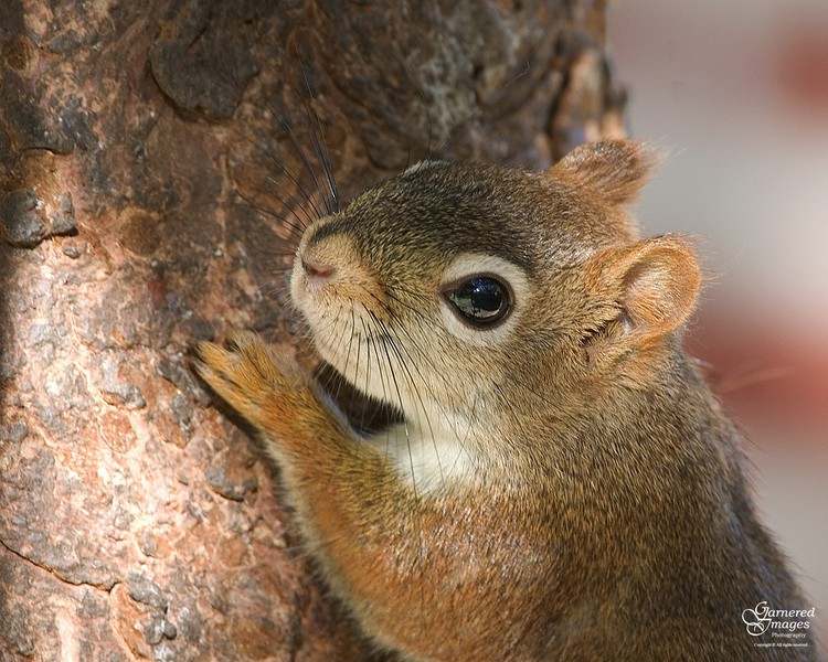 October 18, 2009:  The newest baby pine squirrels are now making an appearance at the feeder.
