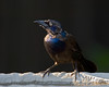 September 1, 2008:  The evening light shows off the great color pattern on this grackle.
