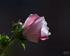 September 10, 2008:  The last of the Rose of Sharon blooms.