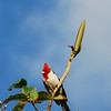 Red-Crested Cardinal Bird Picture