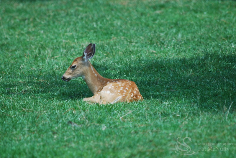 Fawn Resting