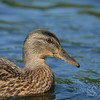 Female Mallard Duck Picture