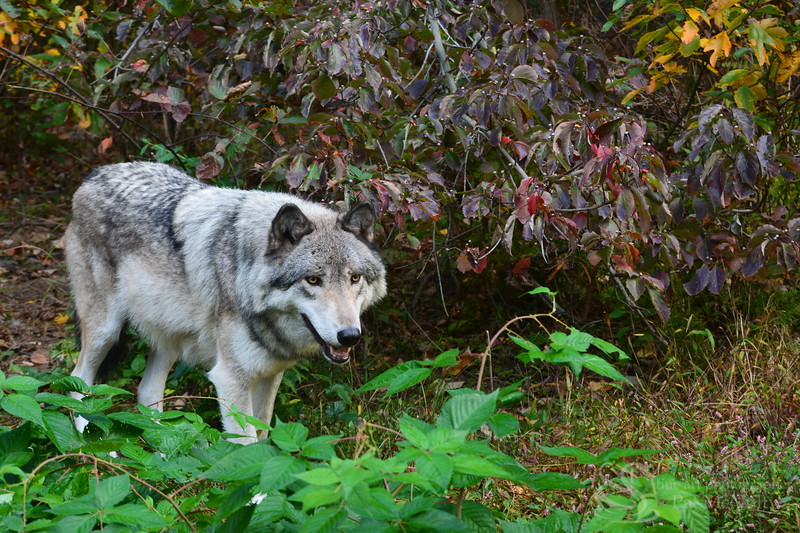 Timberline Wolf Picture