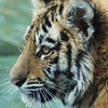 Tiger Picture