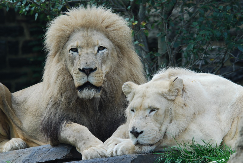 Two Lions Picture